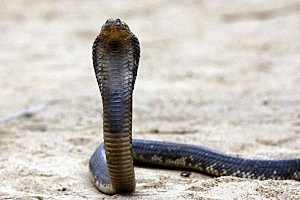 Dangerous Cobra still on the loose from the Bronx Zoo